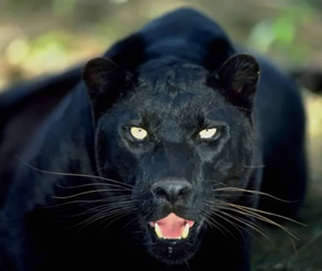 The Panther of Male Sexual Energy when it sees something that it likes and wants (badly)