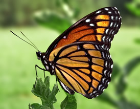 Viceroy butterfly fresh from its Cocoon